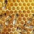 559445.honeybees.on.a.comb (1)