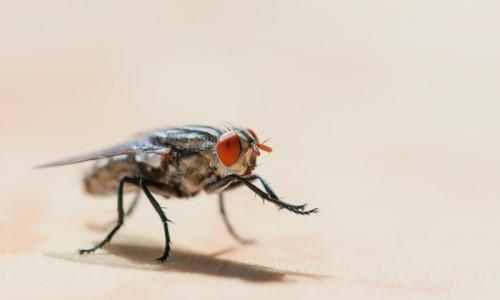 6868563-flesh-fly