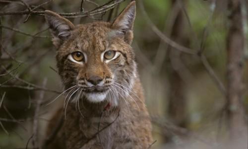 Lynx_HenrikAndren