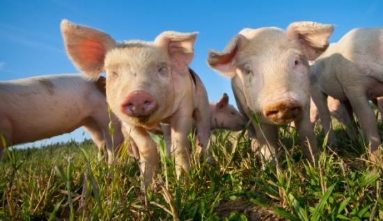 Enklare regler för märkning av grisar