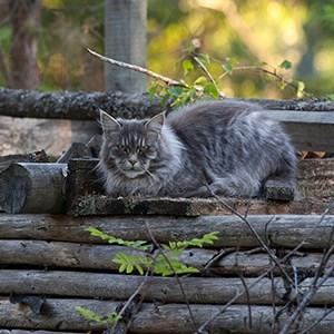 Torrfoder kopplas till diabetes hos katt