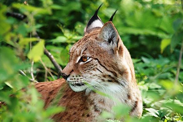 SVA-rapport om vilda djur i Sverige