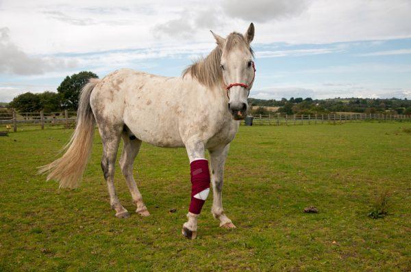 Lägre kortisondos räcker för skadad häst