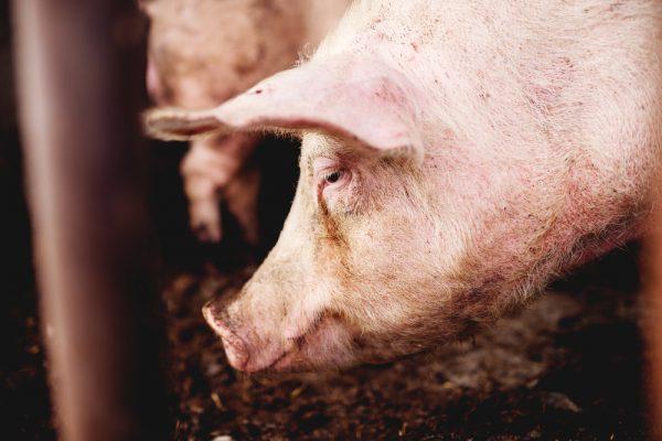 Svensk djurhälsa hotas av EU-beslut