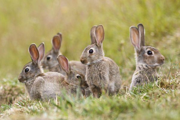 Nya kaningulsoten slår ännu hårdare