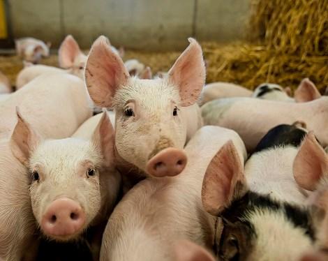 Vaccinadjuvans kan skydda utsatta grisar