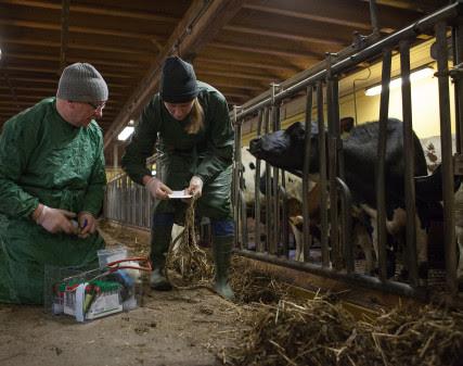 Rön om RS-virus hos kalv kan ge nya läkemedel