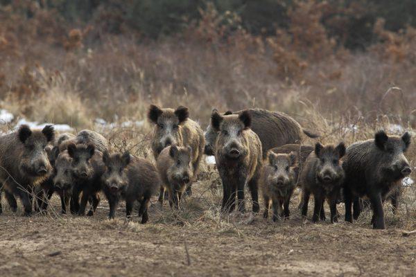 Danmark tänker utrota alla vildsvin