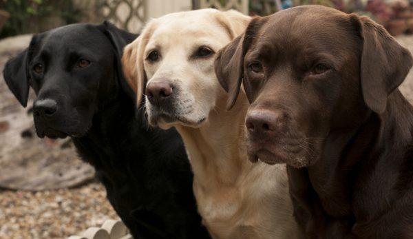 Labradorer kan leva mycket längre
