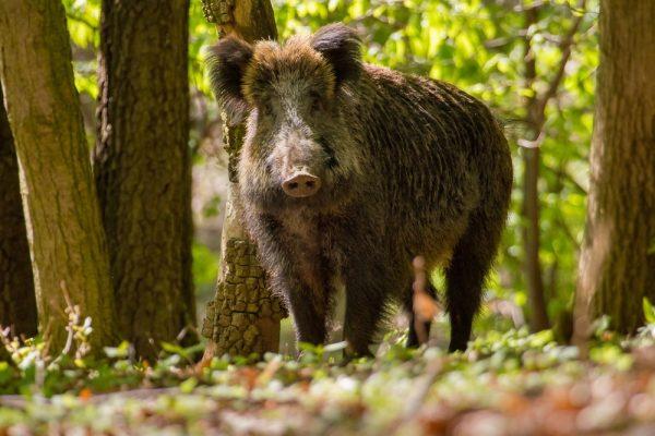 Oväntat fynd av afrikansk svinpest i Belgien