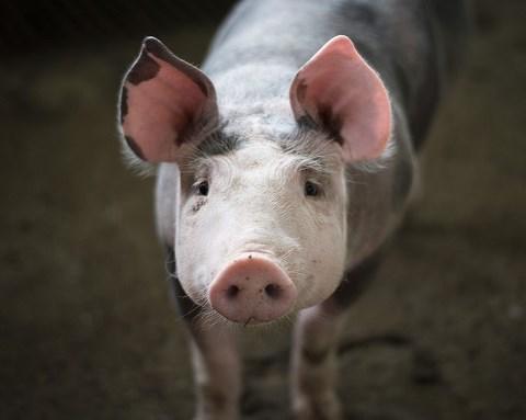 Nytt circovirus hittat hos svenska grisar