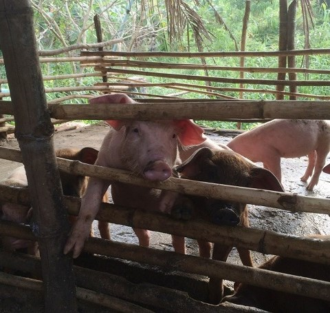 Hög antibiotikaresistens i Kambodjas grisproduktion