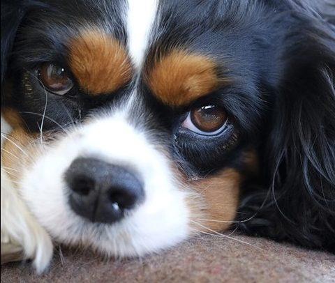 Högre serotoninhalt kan påverka hjärtklaffsjukdom hos hund