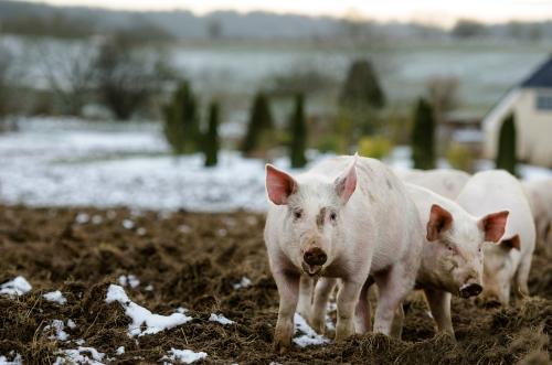 MRSA i nio av tio danska svinbesättningar