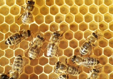 SLU får nationellt referenslaboratorium för sjuka bin