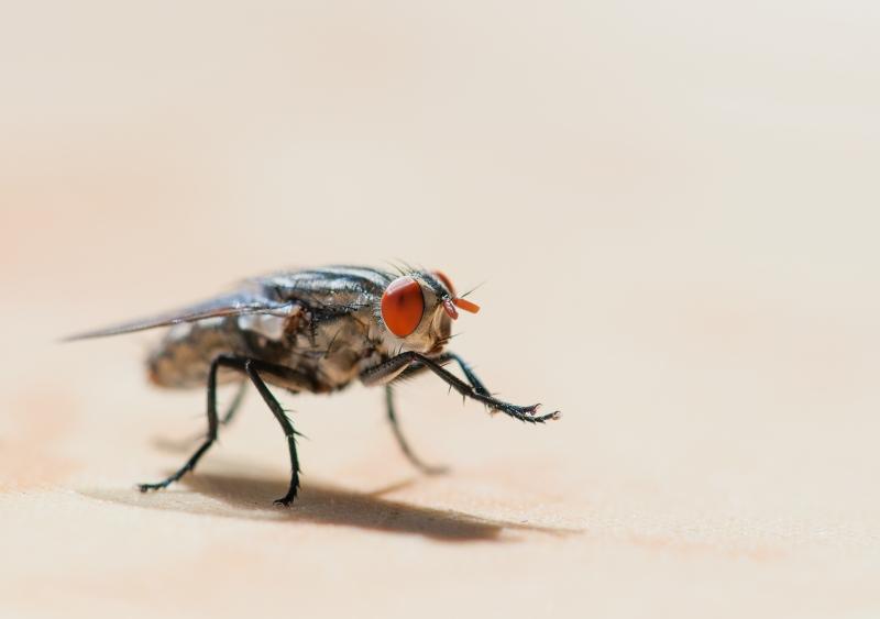 Flugans larv framtidens foder – och mat