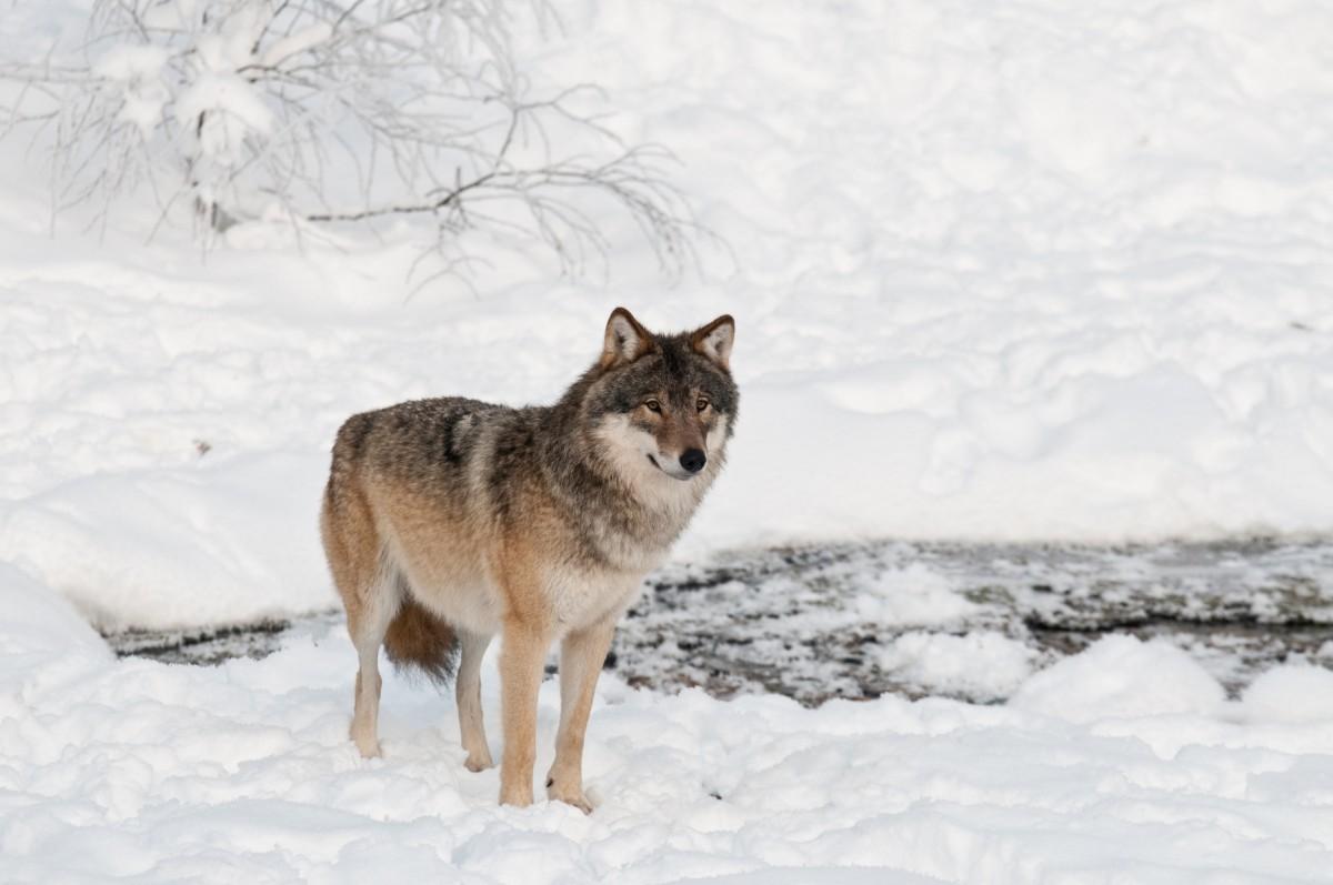 Årets licensjakt på varg: Mest unga djur fälldes