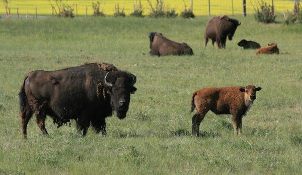Bisonkor har fött IVF-kalvar