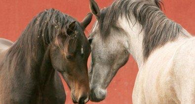 Agria delar ut 1,5 miljoner till hästforskning