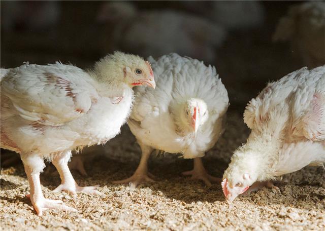 OECD spår stark ökning av antibiotika för djur