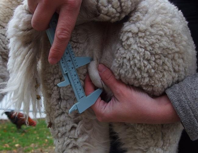 Mät testiklarna på din alpacka