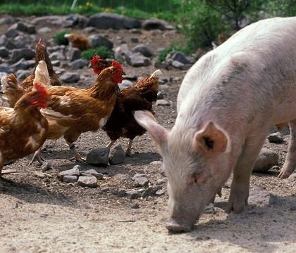 Toxoplasma vanligare hos ekologiska grisar