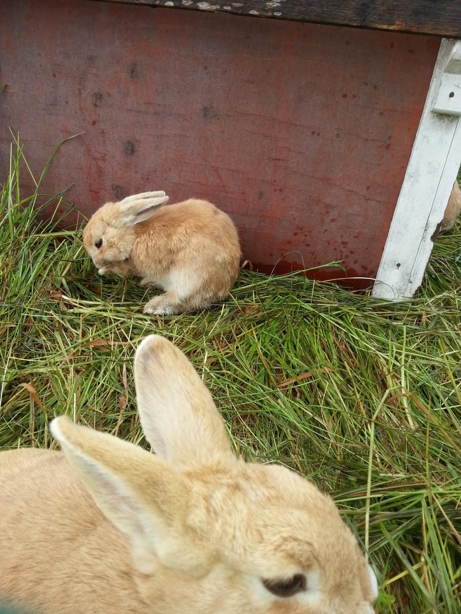 Nytt kaninvirus sprids i Sverige