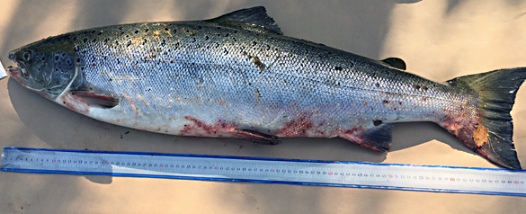 Infektion trolig orsak bakom fiskdöd