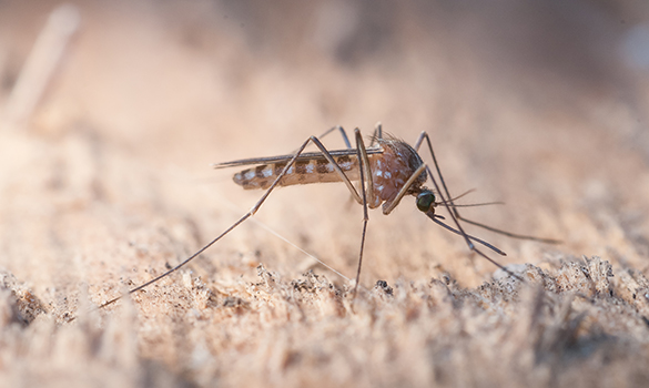 Nu har myggorna svenska namn