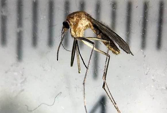 Fruktad mygga upptäckt i Skåne