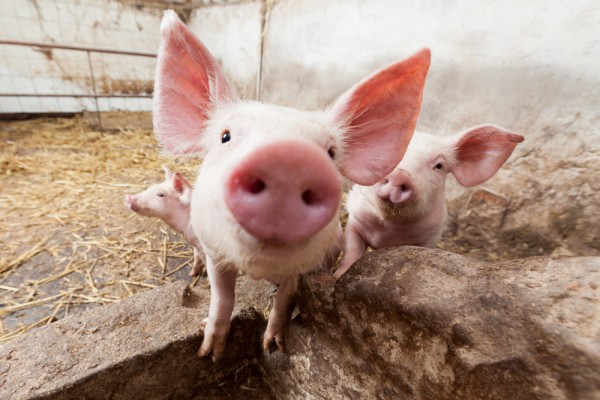 Nytt smittskyddsprogram för gris och nöt