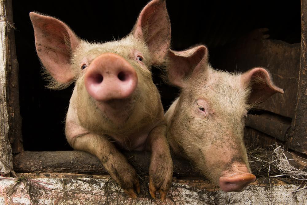 Humanvården sparar 9 Mkr på stopp för MRSA-grisar