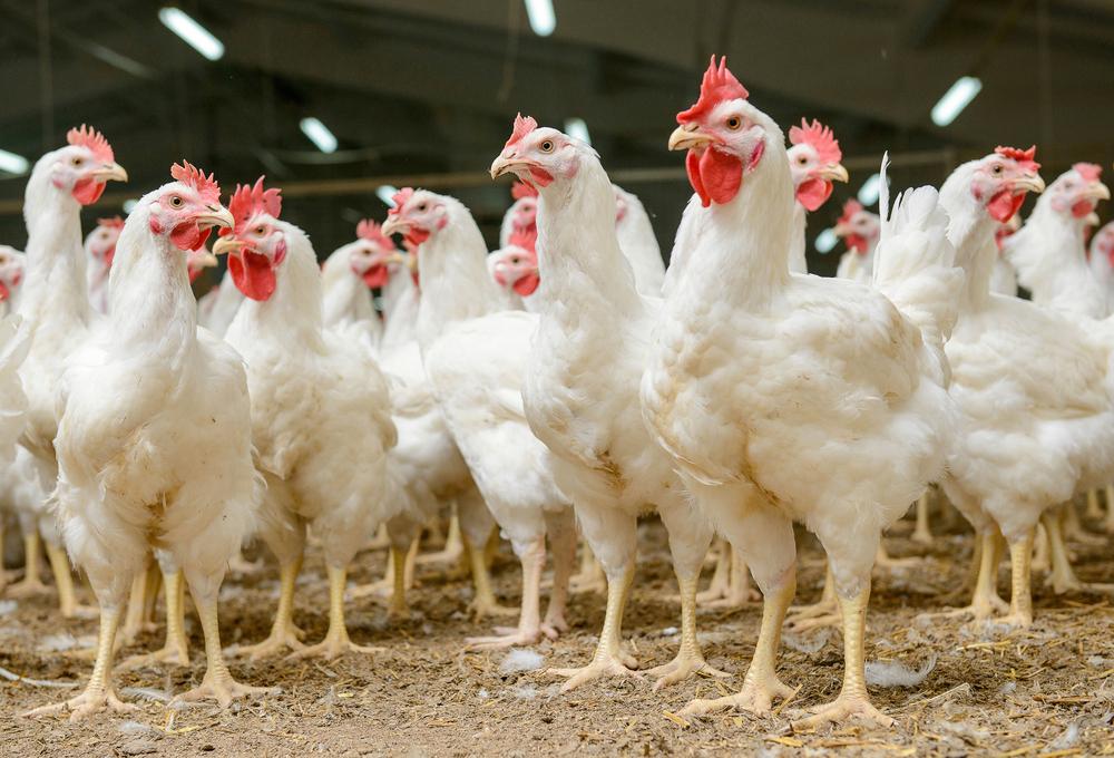 Nya regler för att rapportera fjäderfän