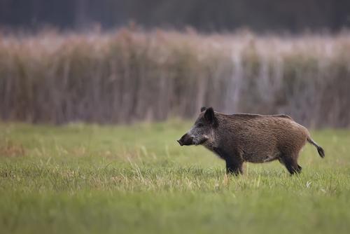 Vartannat svenskt vildsvin bär på Toxoplasma gondii