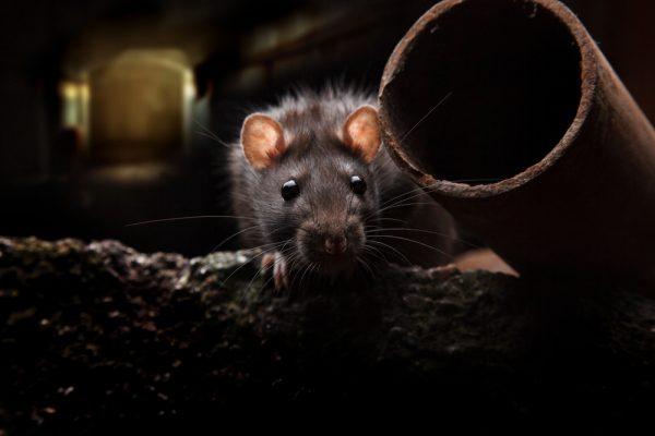 Råttor i storstäder bär på nya smittor