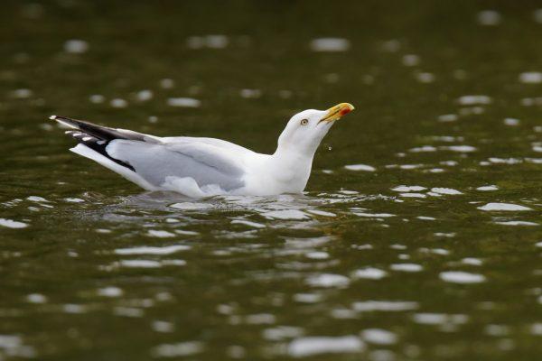 Fågelinfluensa i Kalmar
