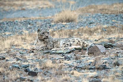 Så kan snöleoparden skyddas