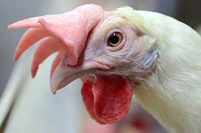 Äggskalet skvallrar om hönans stress