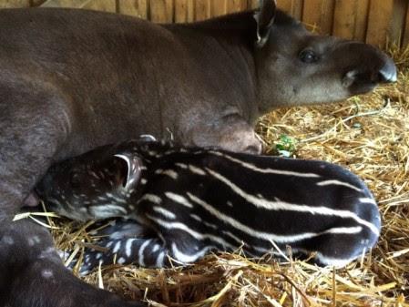 Tapir född på Parken Zoo