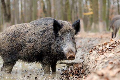 Trikiner hittade hos vildsvin i Dalarna
